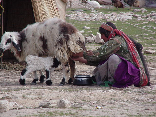 Q woman milking sheep